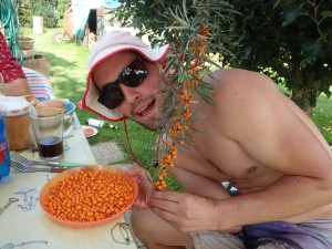 two weeks ago, wife and I harvested a nice amount of Sea Buckthorn fruits, made some nice juice, lots of vitamin C...yipppie....-Adam